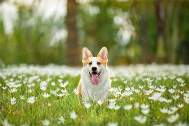 犬は、本当にコロナウイルス「探知器」に訓練されることができますか?